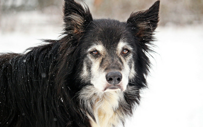 old dog in snow